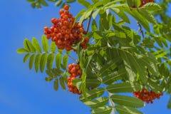 Niederlassungen der Eberesche mit hellen roten Beeren Lizenzfreie Stockbilder