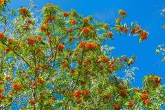 Niederlassungen der Eberesche mit hellen roten Beeren Stockbilder