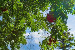 Niederlassungen der Eberesche mit hellen roten Beeren Lizenzfreie Stockfotos