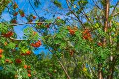 Niederlassungen der Eberesche mit hellen roten Beeren Lizenzfreie Stockfotografie