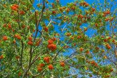 Niederlassungen der Eberesche mit hellen roten Beeren Lizenzfreies Stockfoto