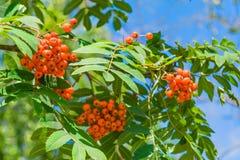 Niederlassungen der Eberesche mit hellen roten Beeren Stockfoto