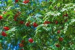 Niederlassungen der Eberesche mit hellen roten Beeren Stockfotografie