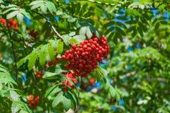 Niederlassungen der Eberesche mit hellen roten Beeren Lizenzfreies Stockbild