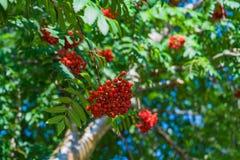Niederlassungen der Eberesche mit hellen roten Beeren Stockfotos