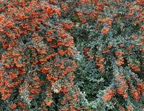 Niederlassungen der Eberesche mit Leuchtorangebeeren auf einem Hintergrund von grünen Blättern Stockfoto
