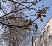 Niederlassungen der Kastanie mit dem Blühen knospt auf Himmelhintergrund Stockfoto