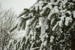 Niederlassungen der Kiefer umfasst mit einer starken Schicht frischem flaumigem Schnee Stockfoto