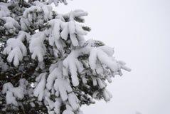Niederlassungen der Kiefer umfasst mit einer starken Schicht frischem flaumigem Schnee Lizenzfreie Stockbilder
