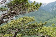 Niederlassungen der Kiefers und Panorama der umgebenden Berge Lizenzfreies Stockbild