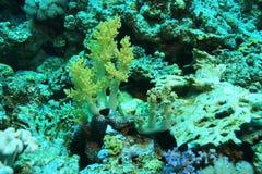Niederlassungen der Koralle Stockbild