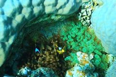 Niederlassungen der Koralle Stockbilder
