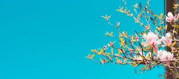 Niederlassungen der Magnolie blüht gegen den blauen Himmel, unscharfe Hintergrundfahnenwebsite lizenzfreie stockfotos