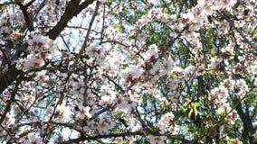 Niederlassungen der Mandel blüht blühende Mandel im Baum am Detail stock footage