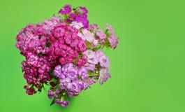 Niederlassungen der schönen rosa und roten Gartennelke auf grünem Hintergrund lizenzfreies stockbild