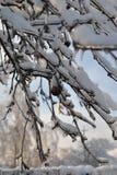 Niederlassungen der schwarzen Eberesche umfasst mit Eis und flaumigem Schnee auf einem Hintergrund des blauen Himmels Lizenzfreies Stockfoto