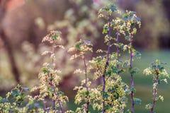 Niederlassungen der Schwarzen Johannisbeere mit Blumen in meinem Familiengarten stockbilder