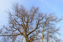Niederlassungen der Spitze eines blattlosen Baums Lizenzfreie Stockbilder