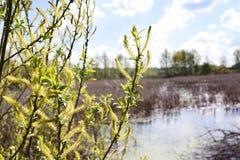 Niederlassungen der Weide auf Teichhintergrund Stockbilder