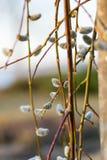 Niederlassungen der Weide im Vorfrühling, flacher Fokus Lizenzfreies Stockfoto