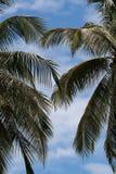 Niederlassungen der zwei Palmen gegen den blauen Himmel Stockfoto