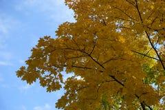 Niederlassungen des Ahorns gegen den Himmel im Herbst Lizenzfreies Stockbild