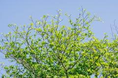 Niederlassungen des Baums mit frischem grünem Laub und blauem Himmel Niedrige Winkelsicht (Tropische Mandel, Bengal-Mandel, indis Lizenzfreies Stockfoto