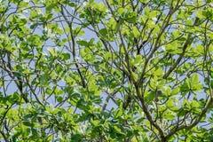 Niederlassungen des Baums mit frischem grünem Laub und blauem Himmel Niedrige Winkelsicht (Tropische Mandel, Bengal-Mandel, indis Stockbild