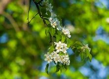 Niederlassungen des Baums mit weißen Blumen Lizenzfreie Stockfotografie