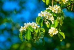 Niederlassungen des Baums mit weißen Blumen Lizenzfreies Stockfoto