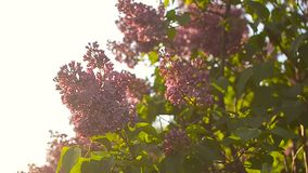 Niederlassungen des beeinflussenden Winds der Flieder, lila Blütenbaum im Sonnenschein des Gartens im Frühjahr, blühender Sonnenu stock video