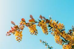 Niederlassungen des Berberitzenbeerbuschabschlusses oben gegen einen Hintergrund des blauen Himmels Stockfotos