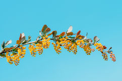 Niederlassungen des Berberitzenbeerbuschabschlusses oben gegen einen Hintergrund des blauen Himmels Lizenzfreie Stockfotografie
