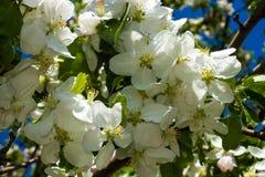 Niederlassungen des blühenden Apfelbaums Stockbild