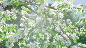 Niederlassungen des blühenden Apfelbaums in der Sonne stock video