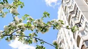 Niederlassungen des blühenden Applebaums auf einem Hintergrund des mehrstöckigen Hauses stock footage
