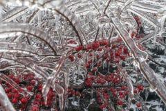 Niederlassungen des Busches und rote Beeren im Eis Stockfoto