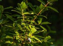 Niederlassungen des Geißblattes mit grünen Blättern und blauen Beeren lizenzfreies stockbild