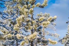 Niederlassungen des immergrünen Baums Stockfotos