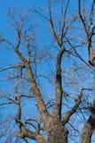 Niederlassungen des kahlen Baums gegen den blauen Himmel schauen Sie oben Lizenzfreie Stockfotos