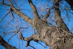 Niederlassungen des kahlen Baums gegen den blauen Himmel schauen Sie oben Stockfotografie