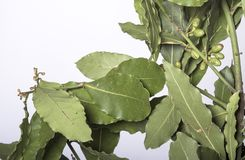 Niederlassungen des Lorbeerbaums mit grünen Blättern lizenzfreie stockfotografie