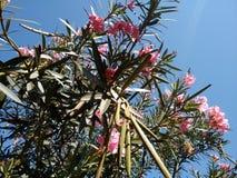 Niederlassungen des Oleanders mit Blumen und Hülsen Lizenzfreies Stockbild