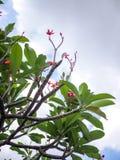 Niederlassungen des Plumeria Frangipanibaums auf Hintergrund des blauen Himmels Lizenzfreie Stockfotos