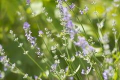 Niederlassungen des purpurroten Lavendels Stockfoto