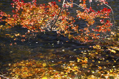 Niederlassungen des roten Laubs hängen über dem Farmington-Fluss, Connecti Stockfoto