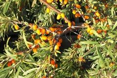 Niederlassungen des Sanddorns mit Blättern der gelben Beere und des Grüns Stockbild