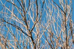 Niederlassungen des trockenen Holzes mit blauem Himmel Lizenzfreie Stockfotografie