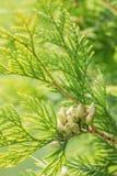 Niederlassungen des Zypressenbaums Stockfotografie