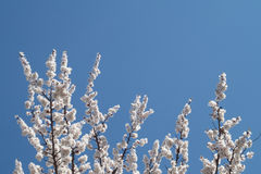 Niederlassungen einer blühenden Aprikose auf einem Hintergrund des blauen Himmels Lizenzfreie Stockbilder